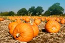 Does Pumpkin Help in Losing Weight?