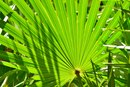 Saw Palmetto Whole Herb Vs. Extract