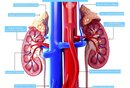 What Are the Parts of the Human Kidney?
