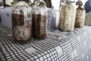 Taking Reishi Mushrooms While Pregnant