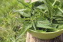 How Hard Is Nettle Tea on the Body?