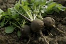 What Are the Benefits of Spanish Black Radish?