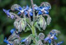 Borage Oil Side Effects