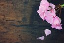 Rose Geranium Essential Oil Uses