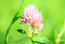 Red Clover for Acne