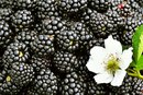 When Are Blackberries in Season?
