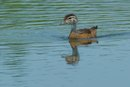 How to Care for a Baby Wood Duck
