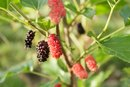 How to Use Mulberry for Weight Loss