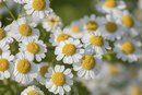 The Dosage of Feverfew