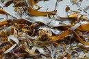 Brown Seaweed Fucoxanthin Information