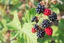 Can I Eat Wild Blackberries?