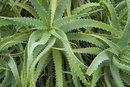 Aloe Vera for Cold Sores