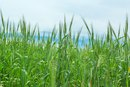 Is Wheat Grass an Alkalizing Food?