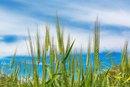 Wheat Dextrin & Fiber