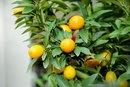 Fiber in Mandarin Oranges