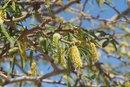 Acacia Allergy
