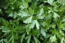 What Does Parsley Do for Your Body?