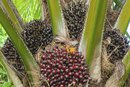 Is Palm Oil One of the Healthy Oils to Consume?