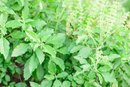 Can You Use Holy Basil to Lose Weight?