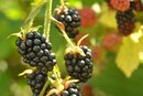 Natural Sugars in Blackberries