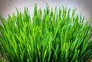 Health Benefits of Wheatgrass & Barley Grass