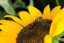 Bee Pollen for Children