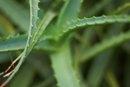 Aloe & Hormone Imbalance