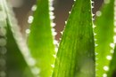 Does Aloe Vera Juice Treat Skin Cancer?