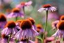 Echinacea & Allergies