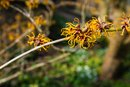 Witch Hazel for Spider Veins