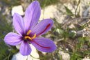 What Are Some Common Uses of Saffron?