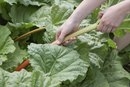 Can You Eat Rhubarb Leaves?