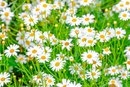 Chamomile for Hair Loss