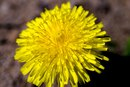Dandelion & Breastfeeding
