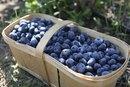 The Nutritional Value of Fresh Vs. Frozen Blueberries