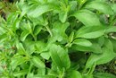 Can Stevia Upset Your Stomach?
