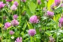 Precautions of Red Clover During Pregnancy