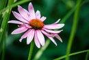 Echinacea & Astragalus