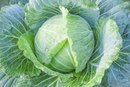 Cabbage & Hypothyroidism