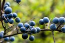 How to Determine if Berries Are Edible