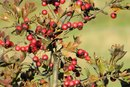 Cranberry Extract Side Effects