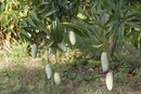 Bush Mango for Weight Loss