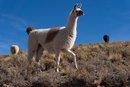Llama Milk & Lactose