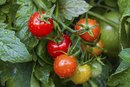 Tomatoes to Lose Weight