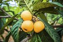 The Health Benefits of Making Tea From Loquat Leaves