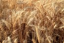 How to Keep Raw Wheat Germ From Going Rancid