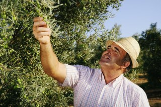 Extra Virgin Olive Oil: From the Grove to the Stove