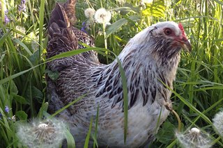 5 Things I Learned About Raising Chickens
