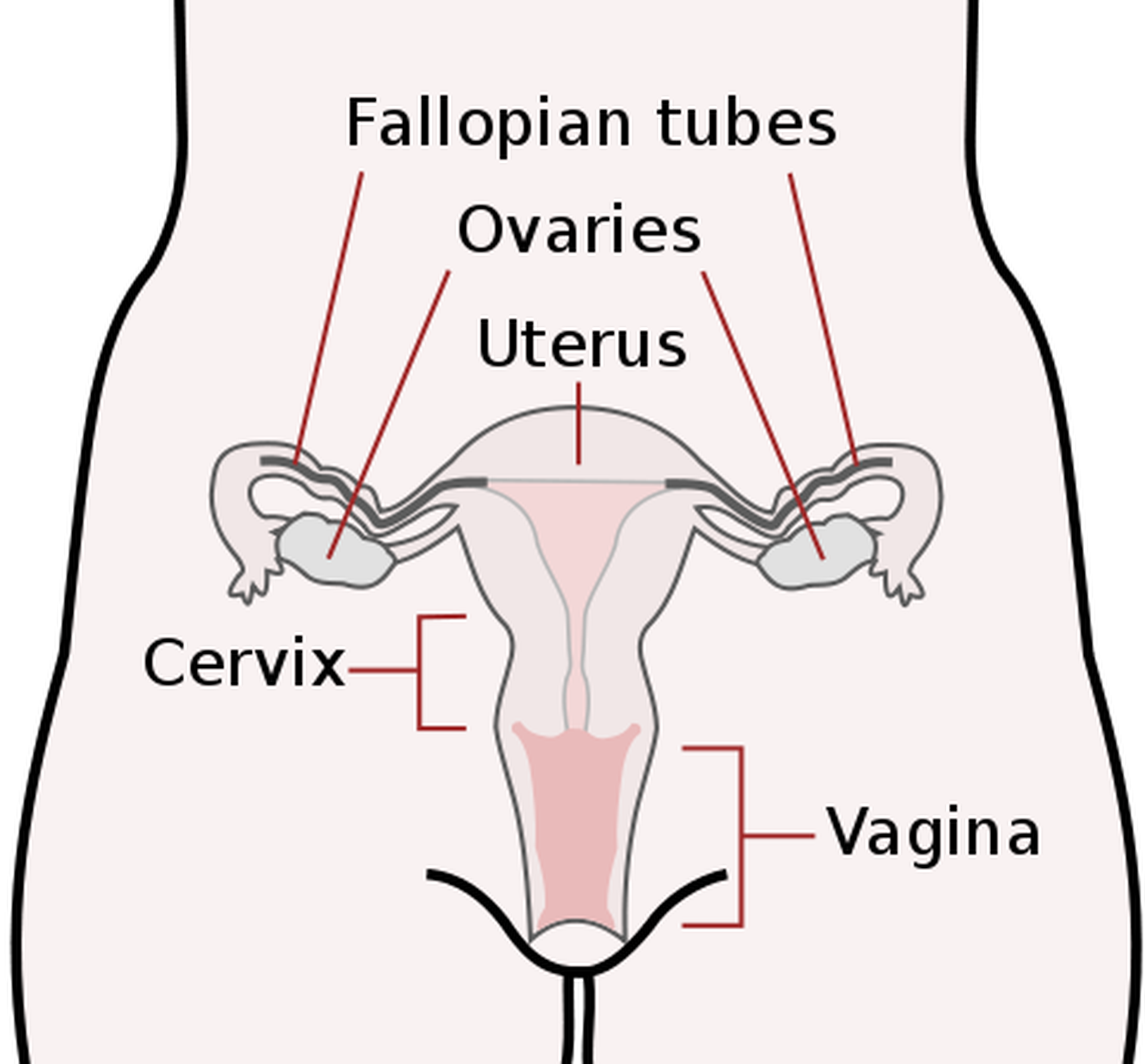 Hysterectomy and ovariectomy - consequences of removal of the uterus and ovaries