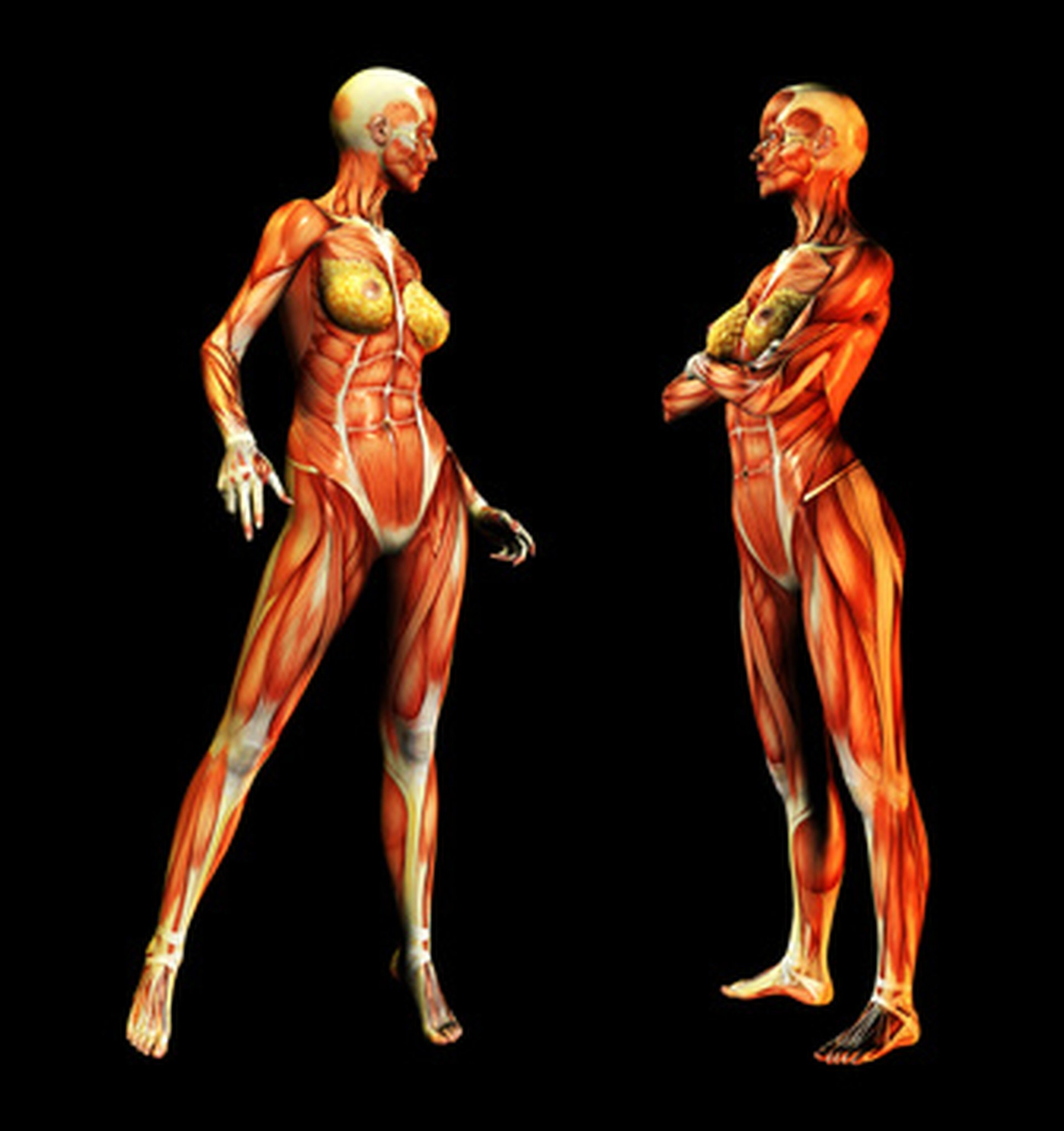 What Organs Make Up The Muscular System Livestrong